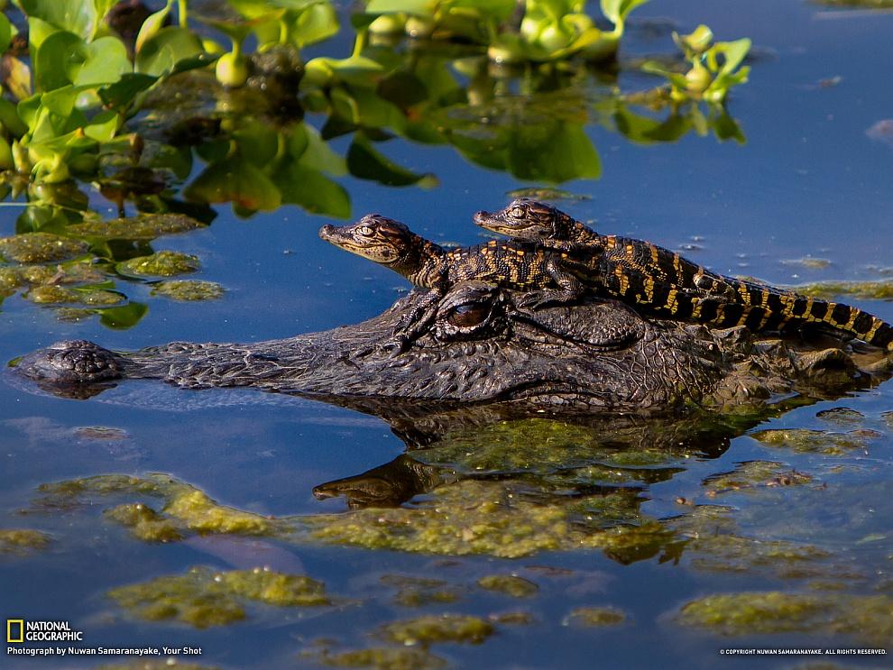 Аллигаторы, штат Техас