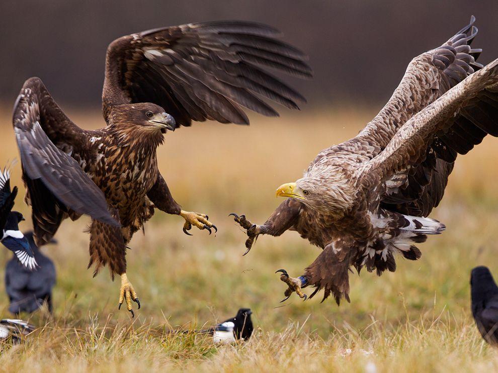 Орланы-белохвосты, Польша