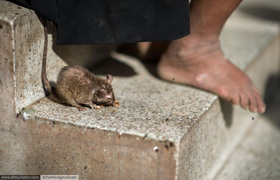 Храм крыс Шри Карни Мата в Индии
