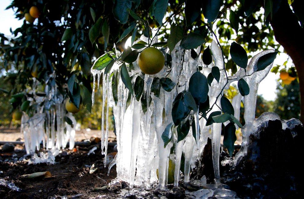 Невиданная вещь — сосульки на апельсиновых деревьях в Калифорнии