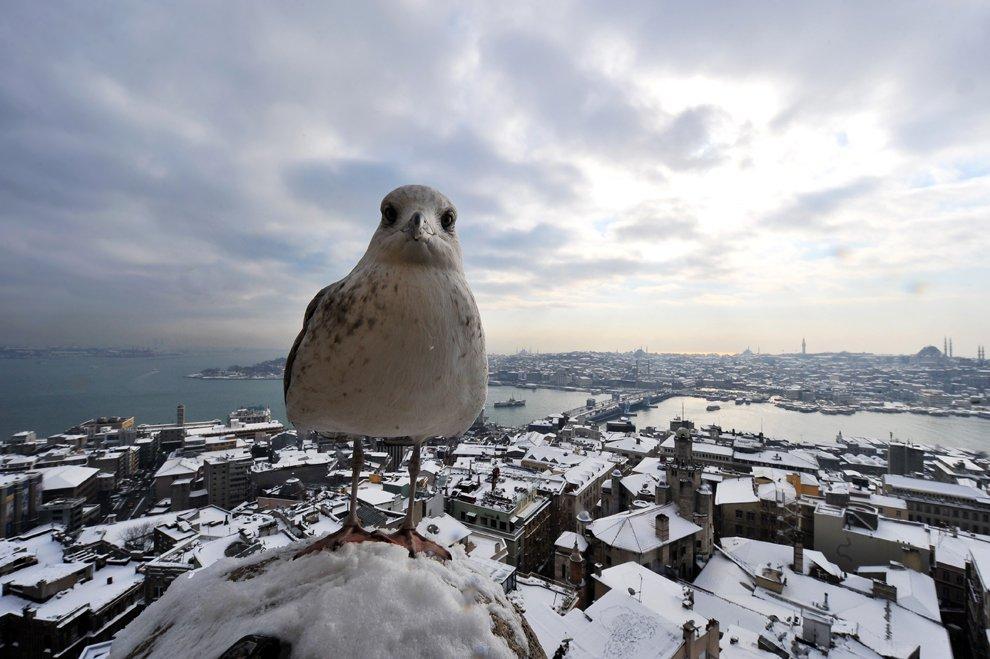 Чайка на Галатской башне в европейской части Стамбула