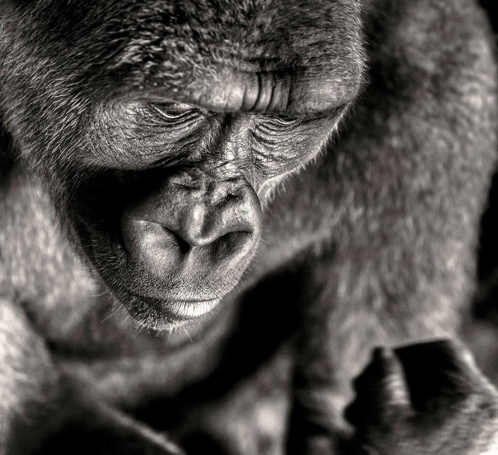 Снимок из серии фотографий о гориллах