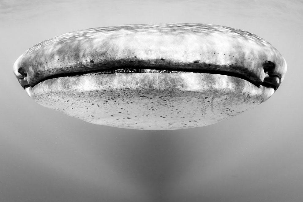 Лицом к лицу с китовой акулой