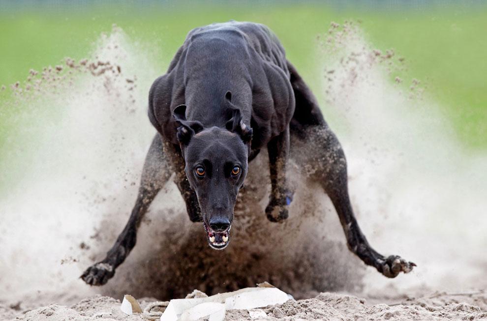 Английская борзая Грейхаунд во время бега за автоматической приманкой