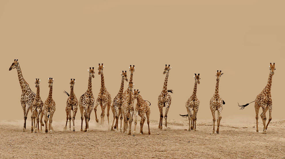 14 жирафов