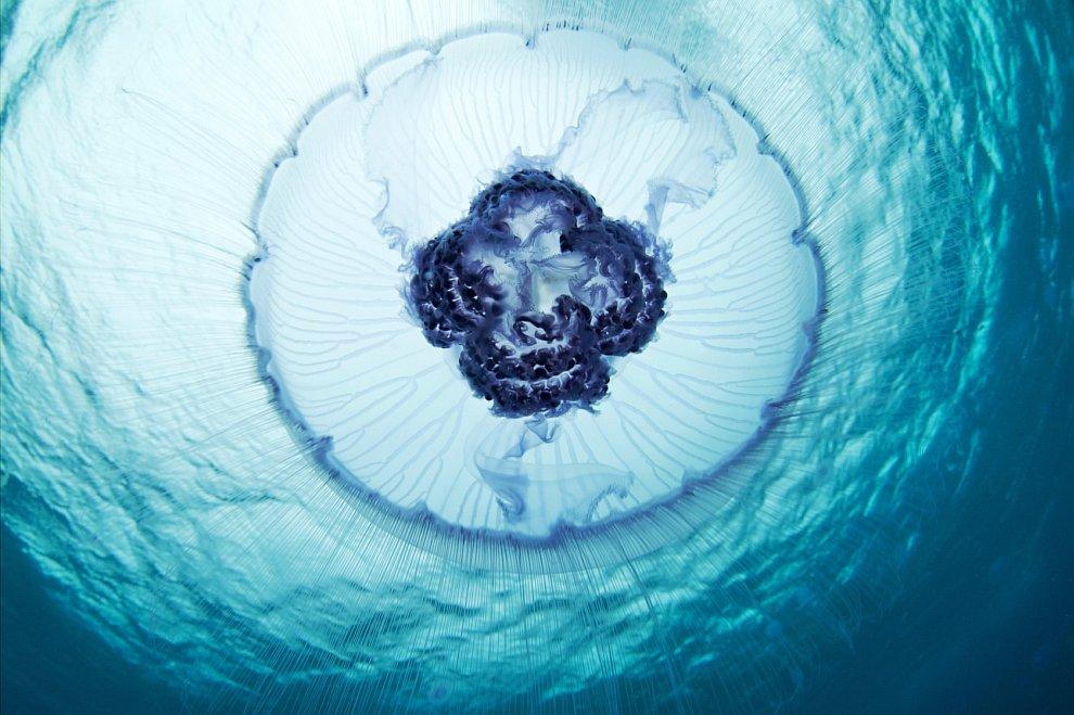 Ушастая медуза