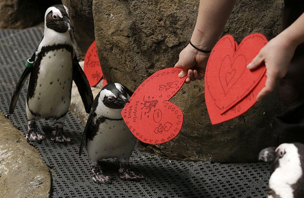 Африканские пингвины с валентинками на выставке в Сан-Франциско