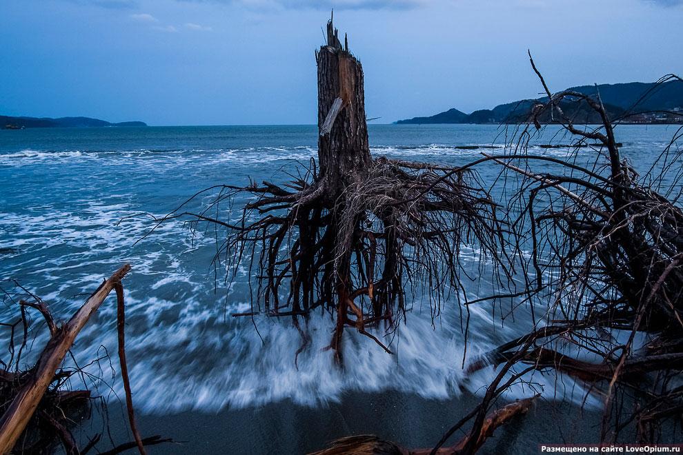 На фотографии выкорчеванная сосна во время цунами 2011 года в Японии