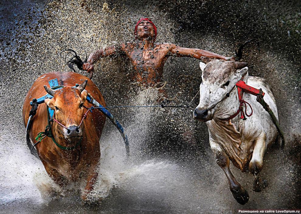 Гонки на быках на Суматре в Индонезии