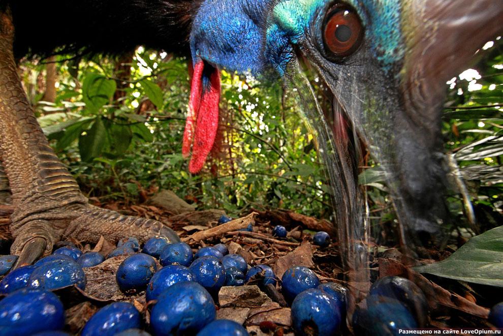 Великолепная фотография птицы Шлемоносный казуар, лакомящейся плодами дерева Квандонга