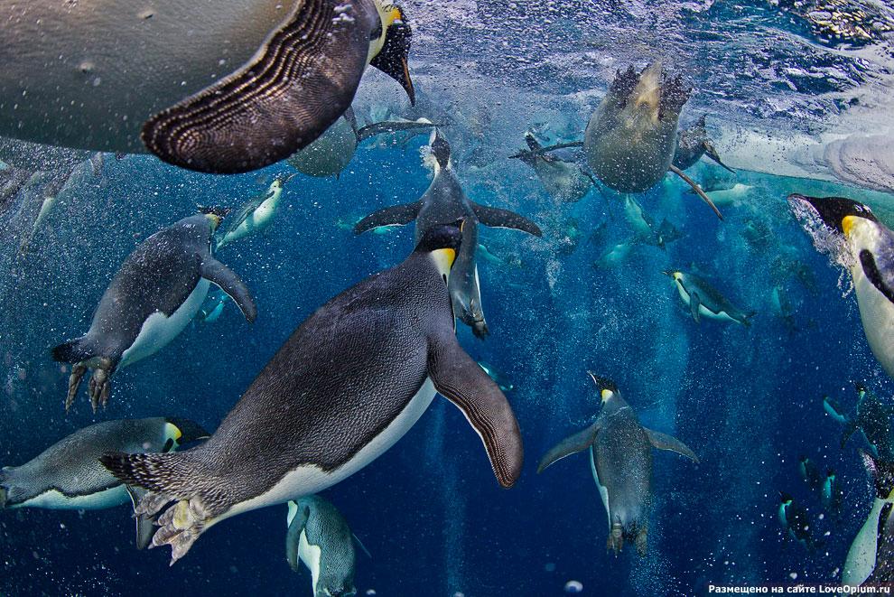 Императорские пингвины в море Росса в Антарктике