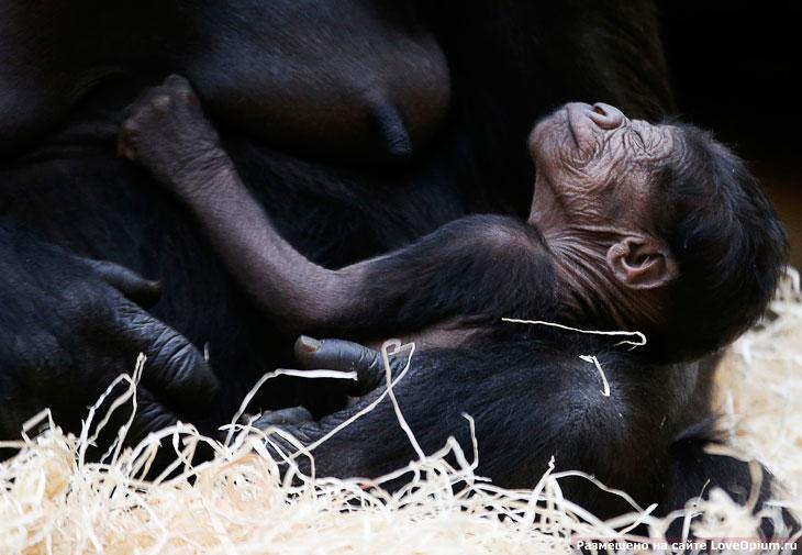 Гориллы — самые крупные современные обезьяны