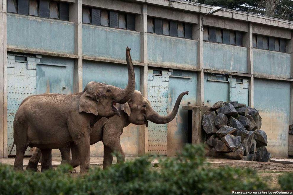 Два 42-летних слона из зоопарка в Лионе, Франция, больных туберкулезом