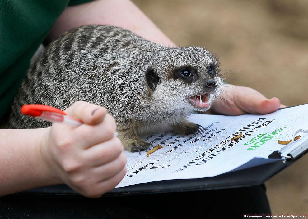Недовольный своими данными сурикат по время переписи животных в зоопарке Лондона