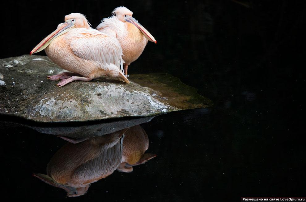 Белые пеликаны в зоопарке Франкфурта