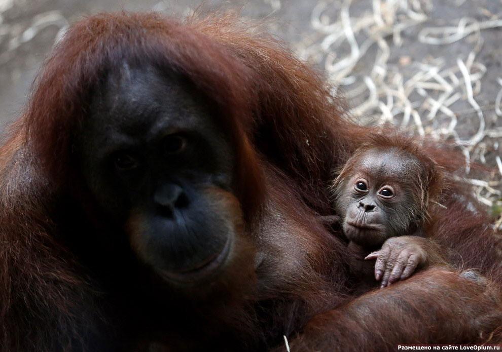 Орангутанов называют «лесной человек»
