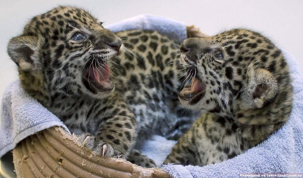 Два недавно родившихся ягуарчика в зоопарке в городе Милуоки