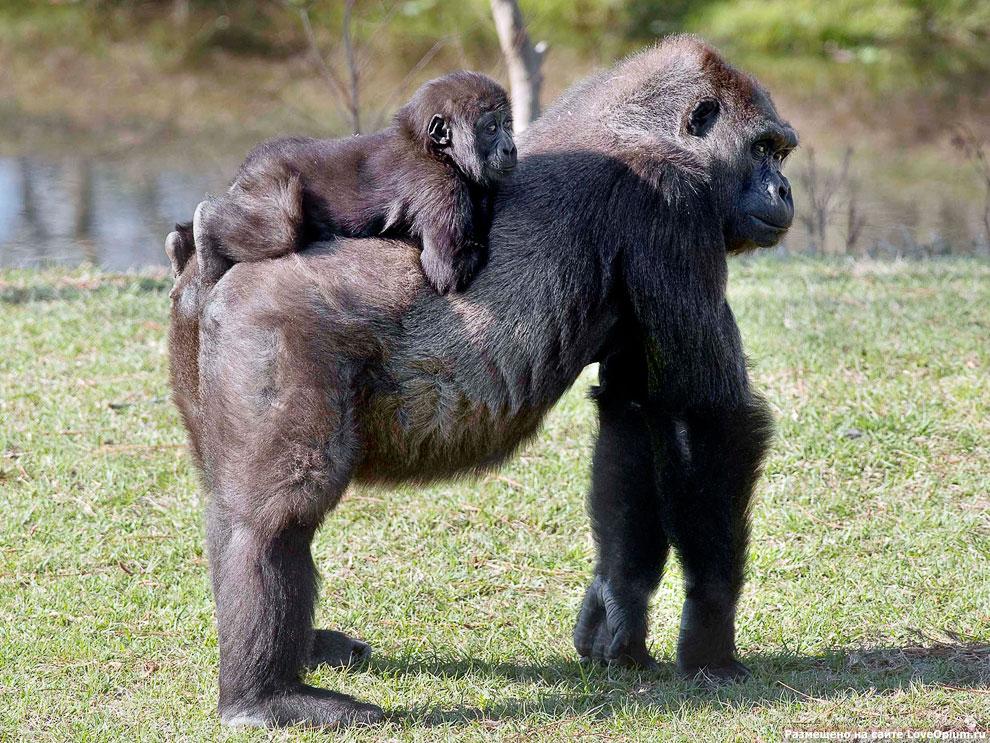 Равнинные гориллы в парке в Руанде, Восточная Африка