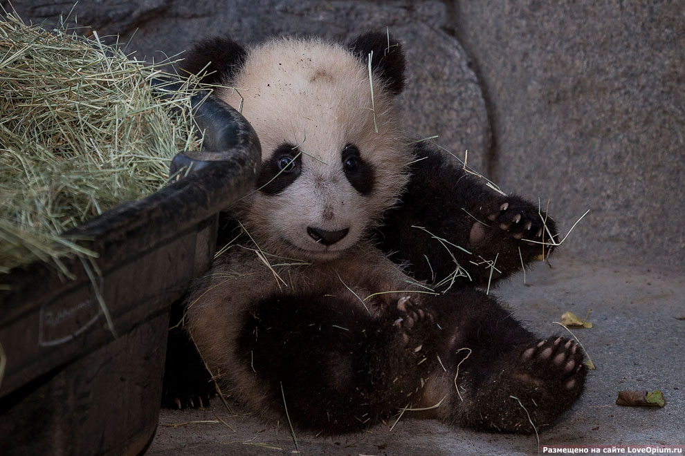 Маленькая панда из зоопарка в Сан-Диего