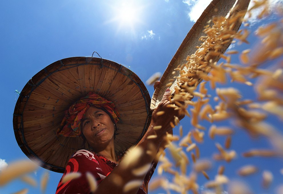Сбор риса в Индонезии