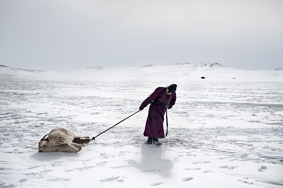 Хозяин тащит свою погибшую от суровой зимы овцу в могильник недалеко от своей юрты