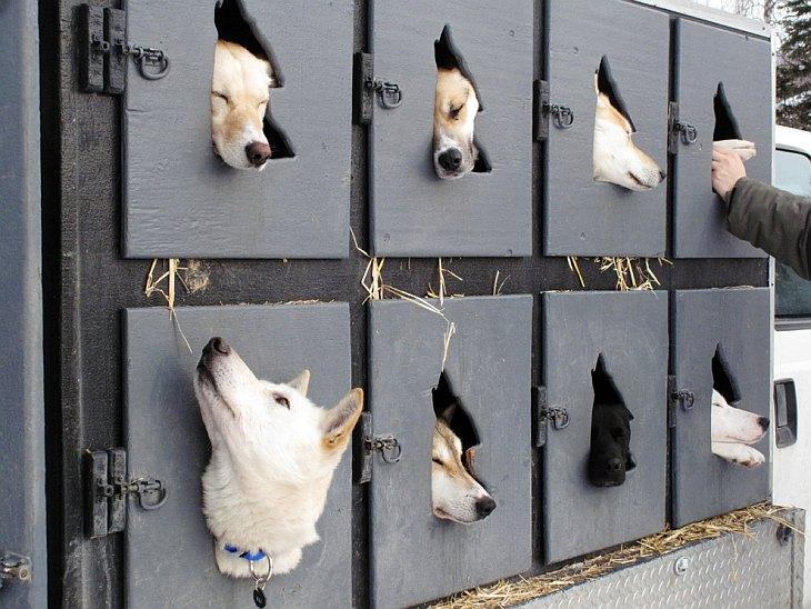 Гонка на собачьих упряжках Айдитарод 2013