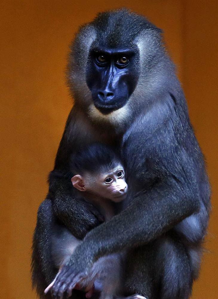Мандриллы — род приматов из семейства мартышковых