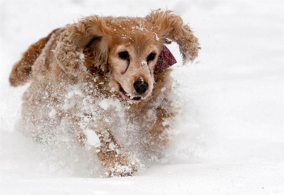 Собака со всем ног несется по снегу в Браунлаге — городе в Германии