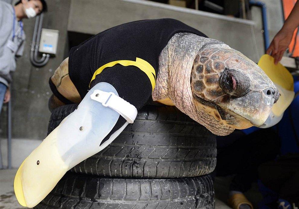 Эту 25-летнюю черепаху зовут «Ю». Она потеряла свои передние лапы во время нападения акулы. Сейчас она примеряет искусственные ласты