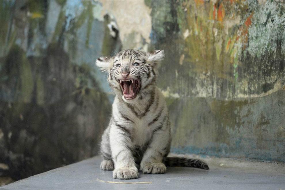 Белому тигренку не нравится медицинское обследование в зоопарке в Братиславе