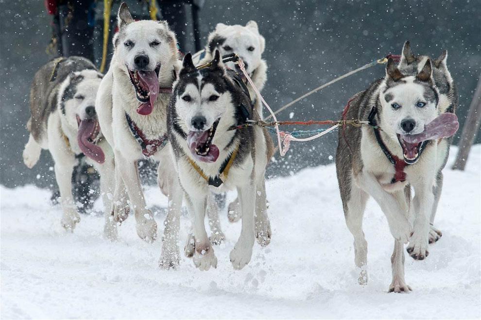 Гонка на собачьих упряжках на юге Германии