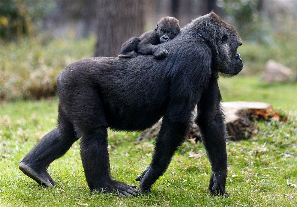 Маленькая горилла катается на своей маме в зоопарке в Северной Каролине