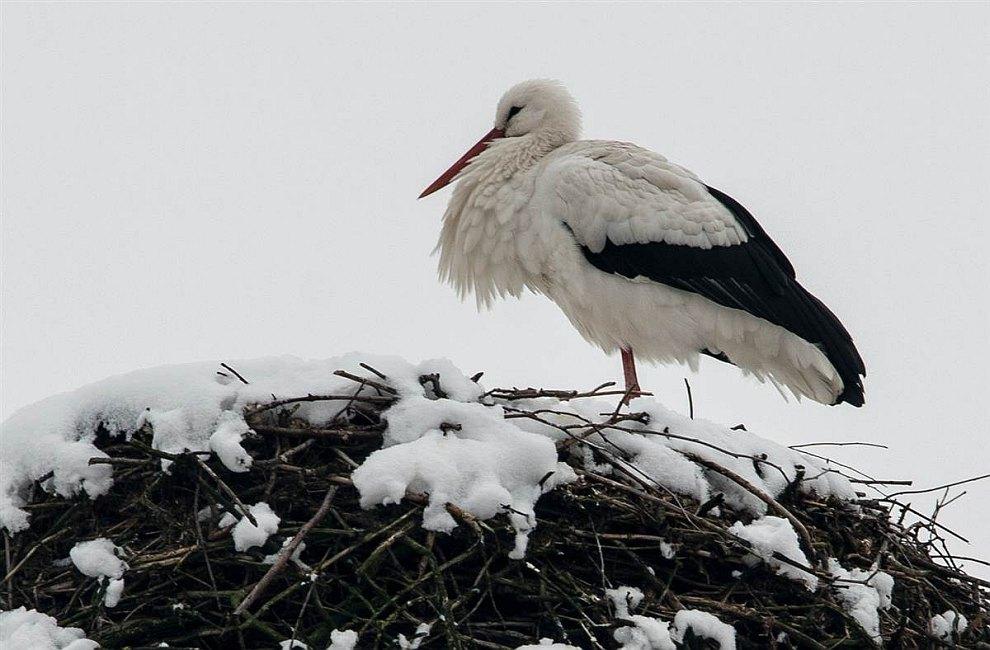 Аист стоит на одной ноге в своем гнезде на юге Германии