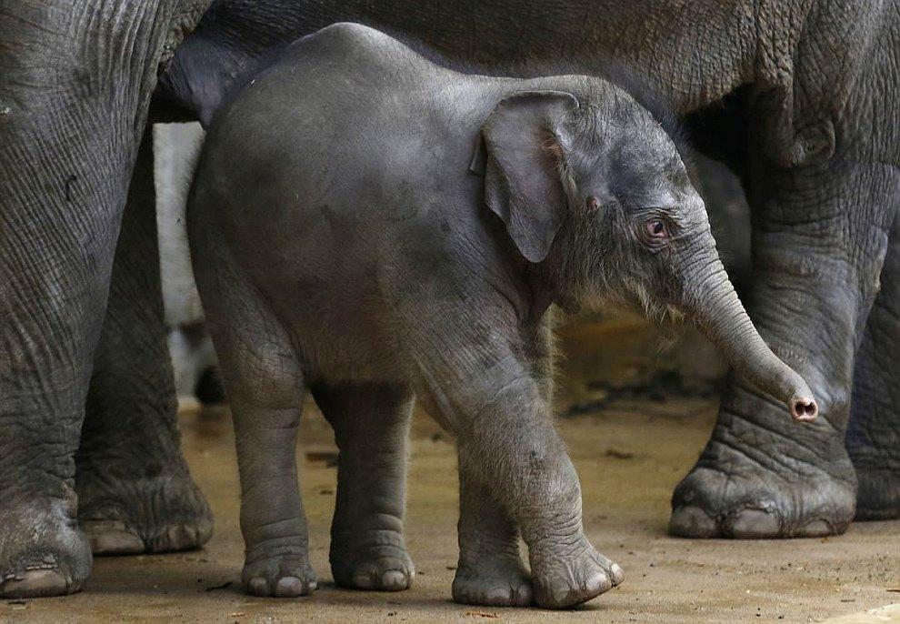 Новорожденный слоненок нетвердой походкой начинает познавать мир