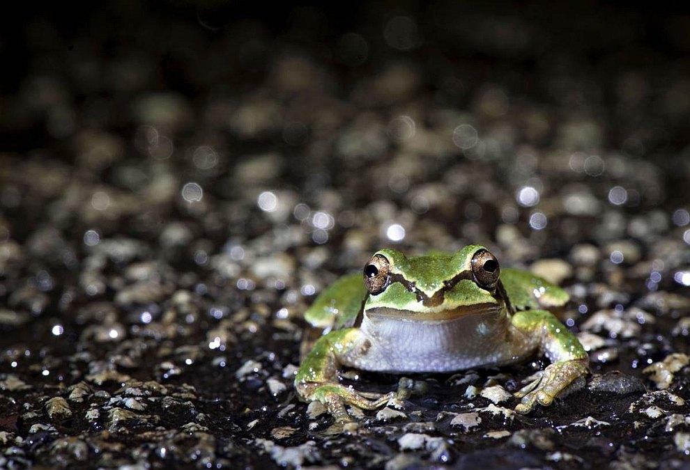 Древесная лягушка пересекает шоссе в штате Орегон во время дождя
