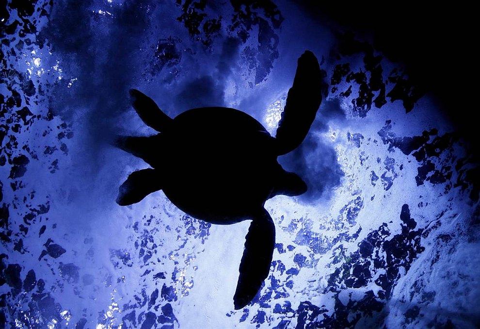 Силуэт морской черепахи