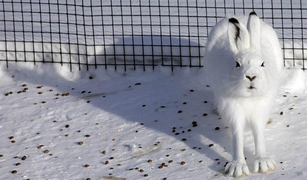 Портрет зайца в зоопарке «Роев ручей» в Красноярске, 21 февраля 2013