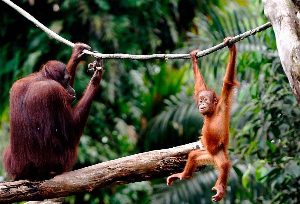 Маленький спортсмен — пятилетний орангутанг в зоопарке Сингапура