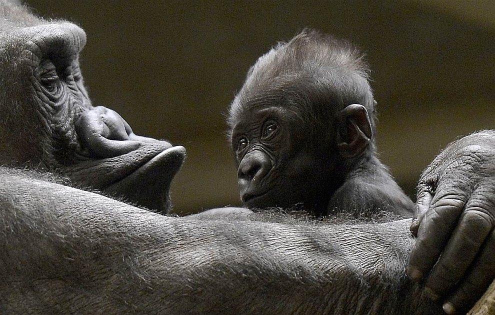 Новорожденная горилла в зоопарке в Мюнстере