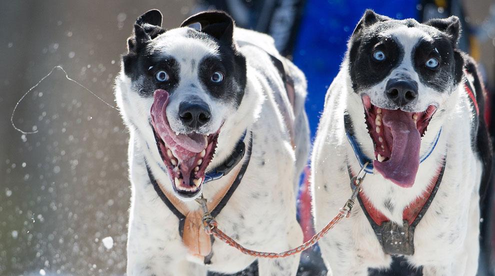 3.7 и 40 километровые гонки на собачьих упряжках прошли 2 марта 2013 в коммуне Вальгау в Германии