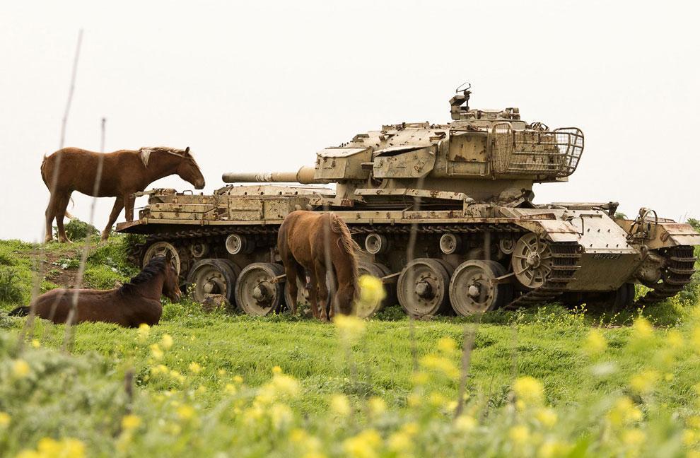 Лошади возле брошенного в поле израильского танка у границы между Сирией и Израилем