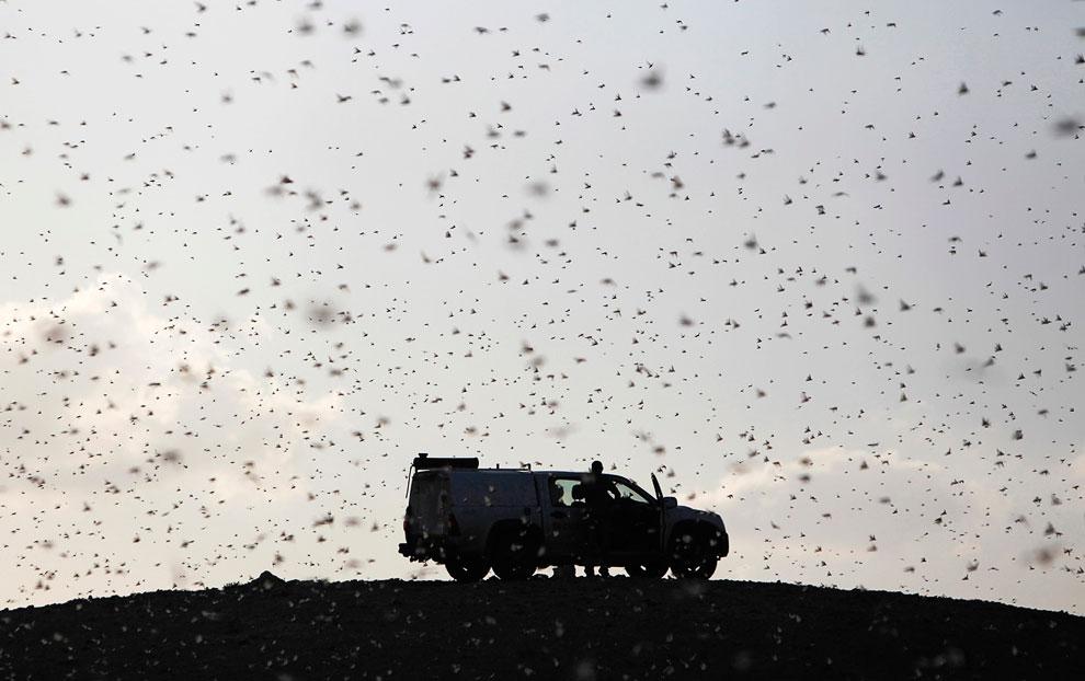 Израильское Министерство сельского хозяйства разрабатывает план борьбы с этими насекомыми, которые в большом количестве прибыли из соседнего Египта, 5 марта 2013