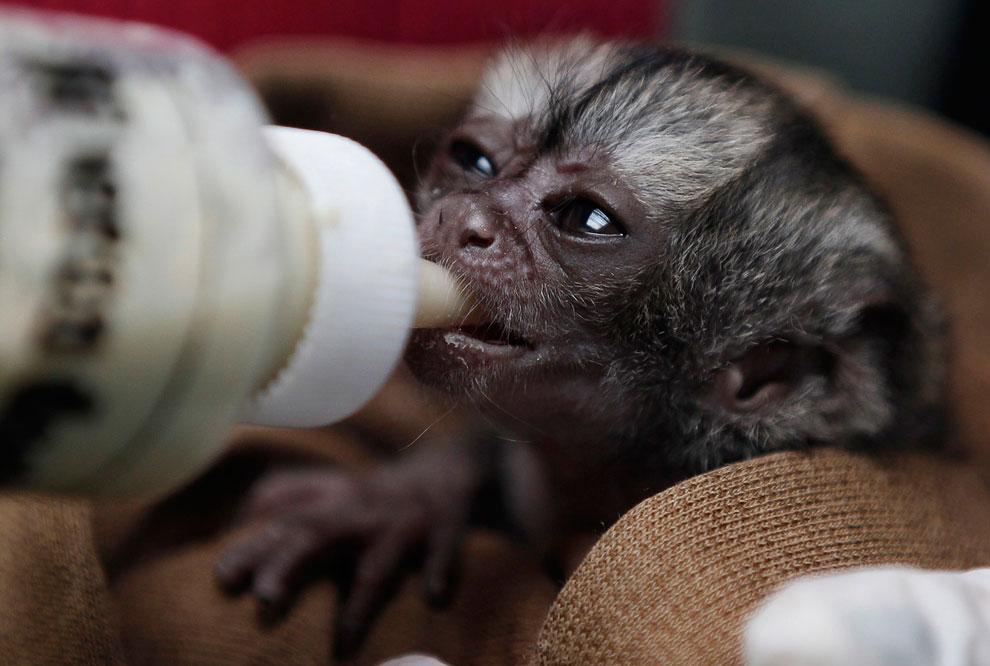 На этот раз это маленькая 15-дневная обезьянка, которую обнаружили на обочине дороги