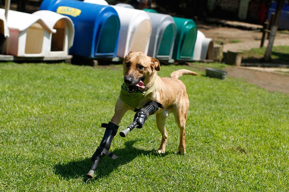 Собака с протезами для передних лап бегает по приюту для животных в Мексике