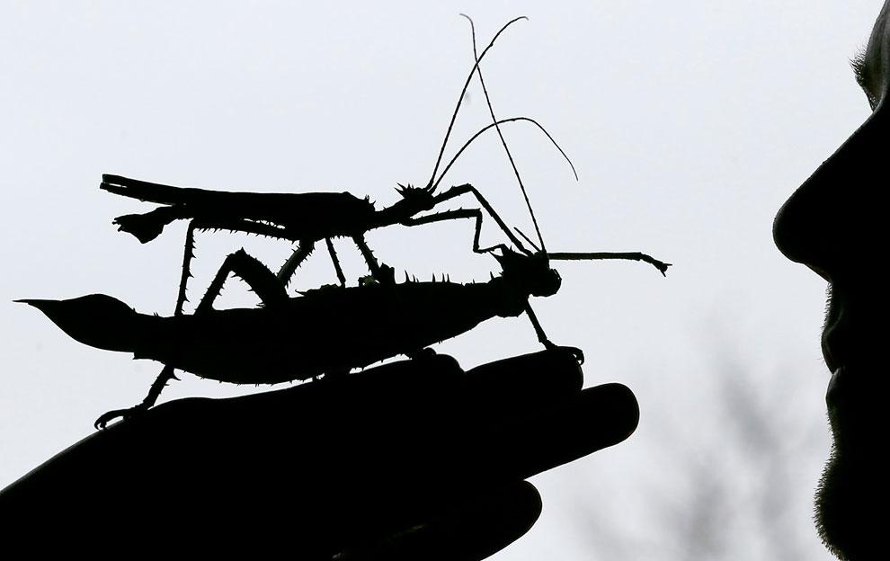 Это самый экзотический вид палочников — малазийская нимфа джунглей (Heteroptryx dilatata) — огромное насекомое, достигающее 20-23 см.