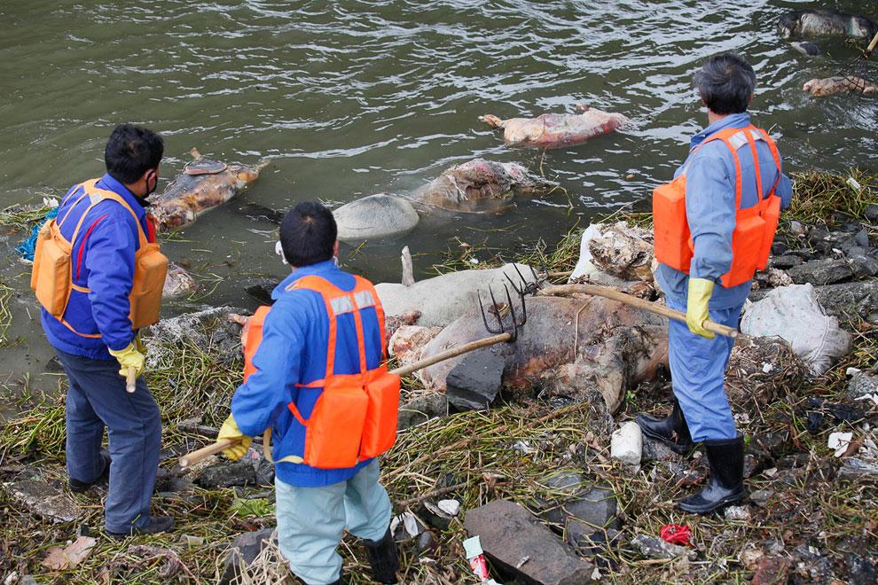 Более 2 200 свиней были найдены мертвыми в одной главных водных артерий Шанхая
