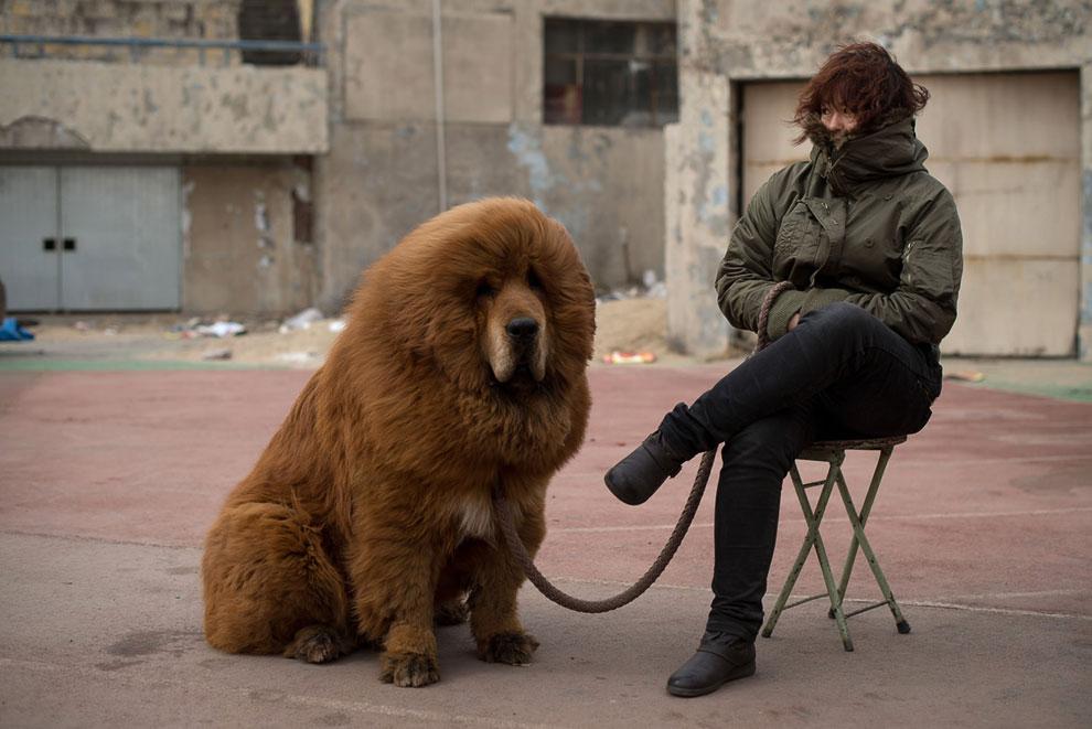 Самые дорогие собаки — тибетские мастифы