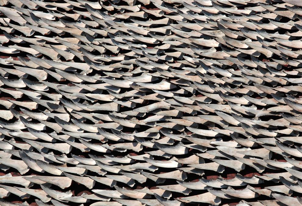 Более 10 000 акульих плавников сушатся на крыше здания в Гонконге