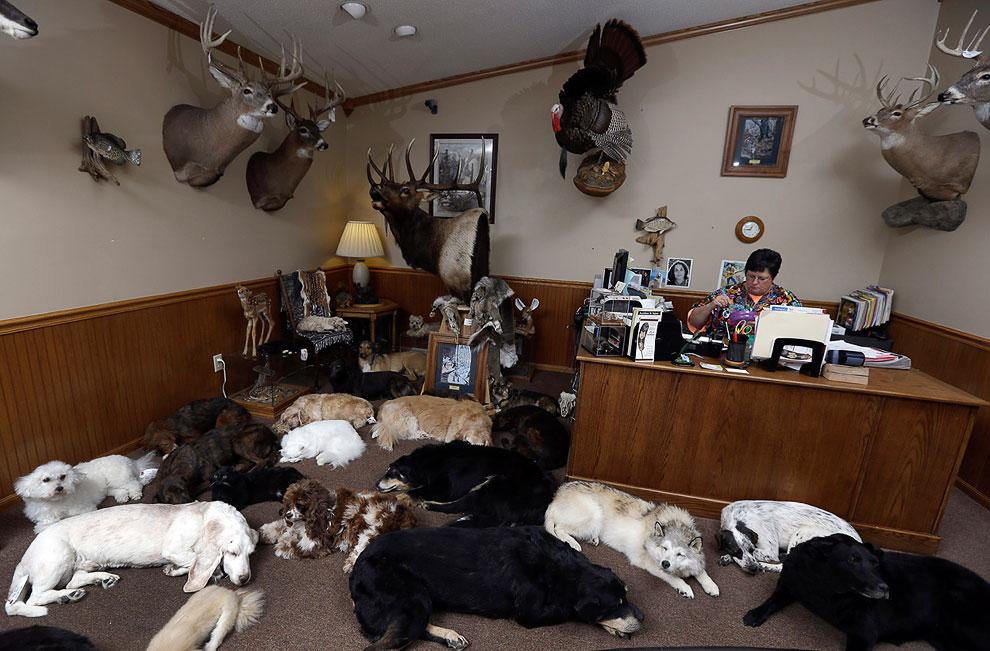 Студия по изготовлению чучел животных в штате Миссури