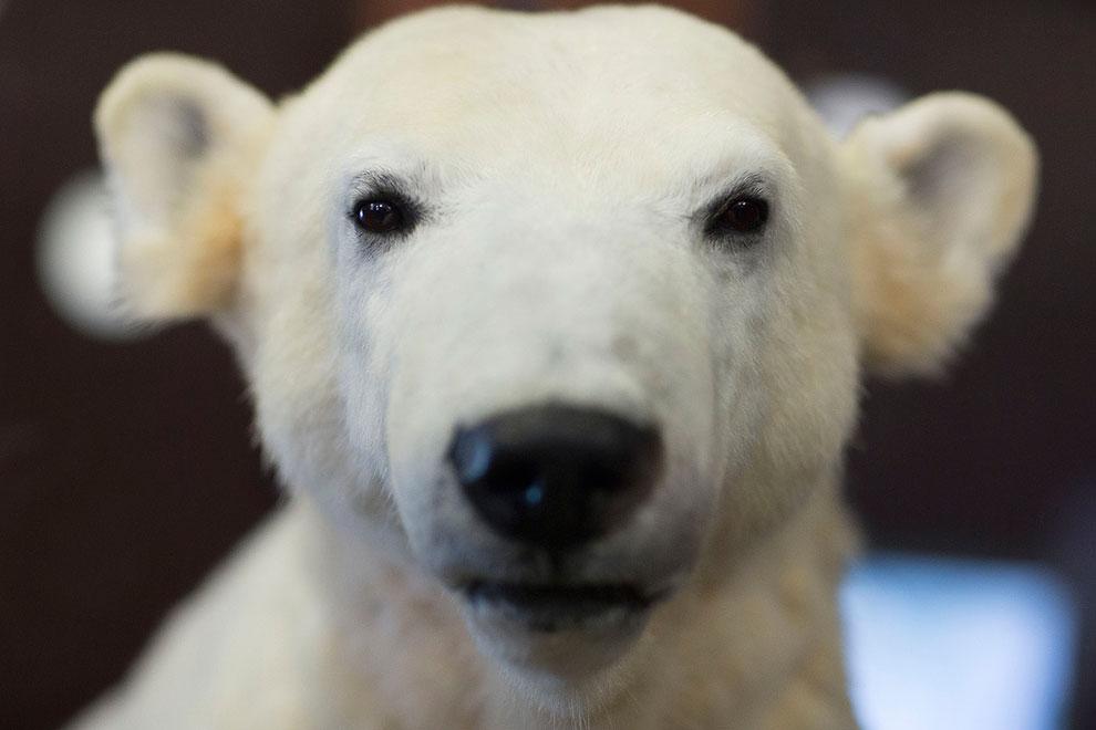 В Музее естественной истории в Берлине, Германия появилось чучело знаменитого медвежонка Кнута